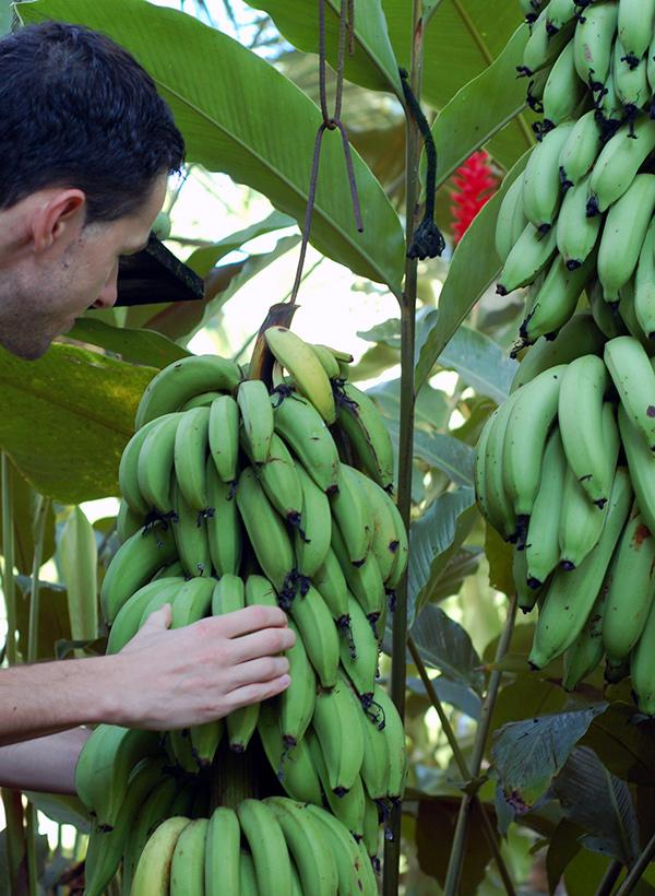 casa-renada-garden-bananas