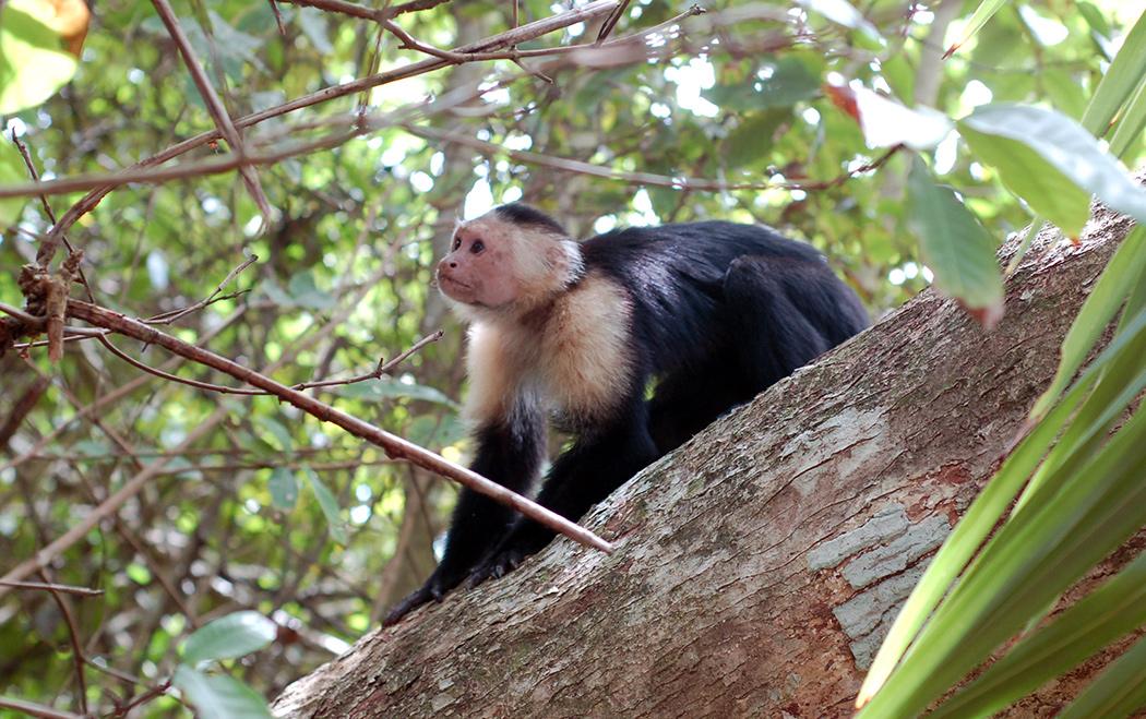 puerto-viejo-monkeys