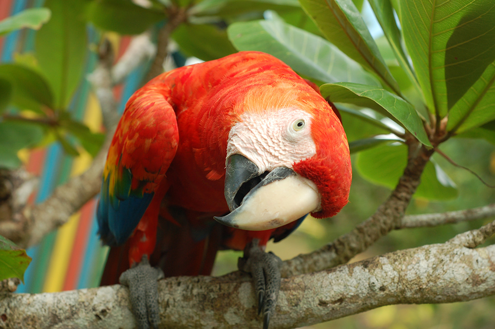 puerto-viejo-parrot