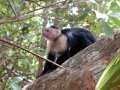 puerto-viejo-monkeys